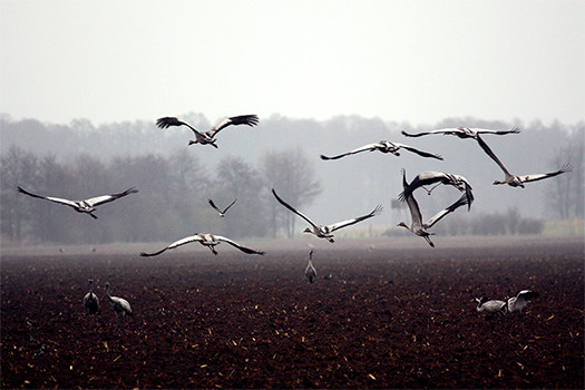 Vögel auf Feld